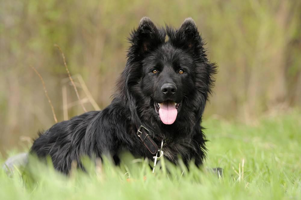 Bardzo dobra owczarek niemiecki czarny długowłosy | Internetowe królestwo zwierząt LR05