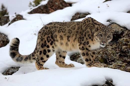 duży dziki kot