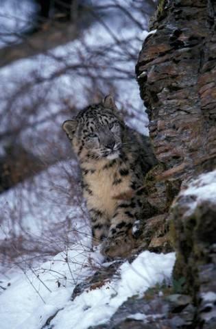 młoda pantera śnieżna
