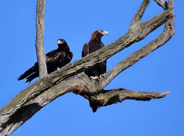 orły australijskie (Aquila audax)