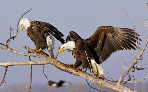 Orły Ptaki Drapieżne Gatunki Pożywienie I Występowanie