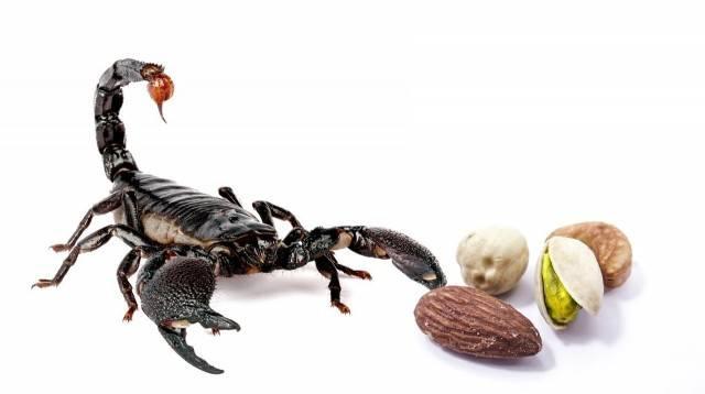 pajęczaki skorpion