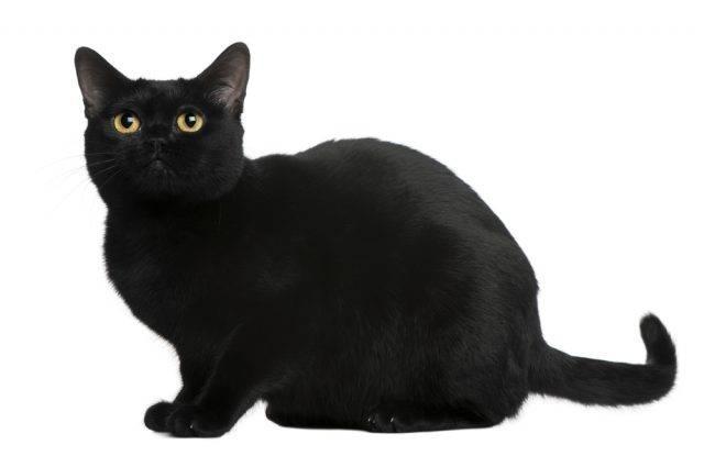 czarna rasa kotów