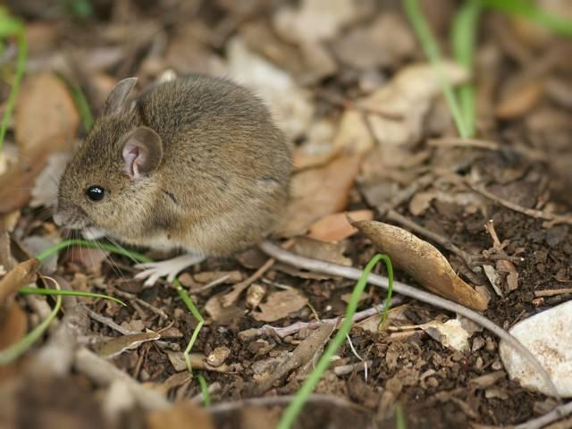 szkodniki w ogrodzie myszy