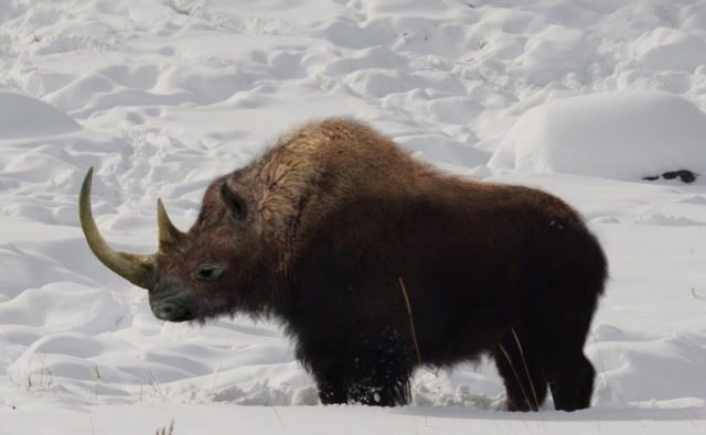 nosorożec włochaty podczas zimy