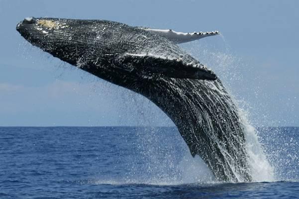 ile ton może ważyć wieloryb