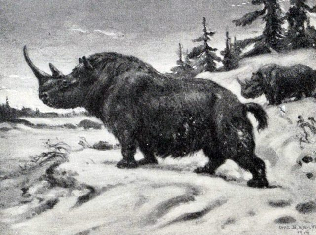 wymarły gatunek nosorożca