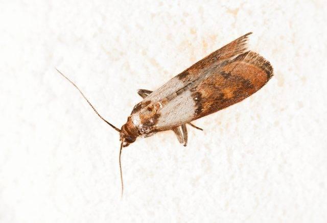 Mklik mączny (Ephestia kuehniella)