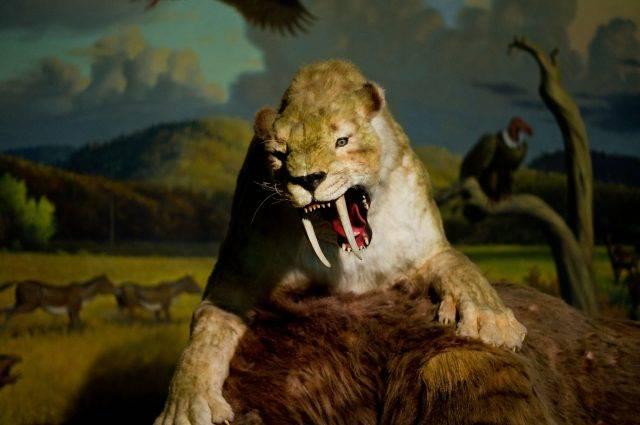 atakujący tygrys szablastozębny