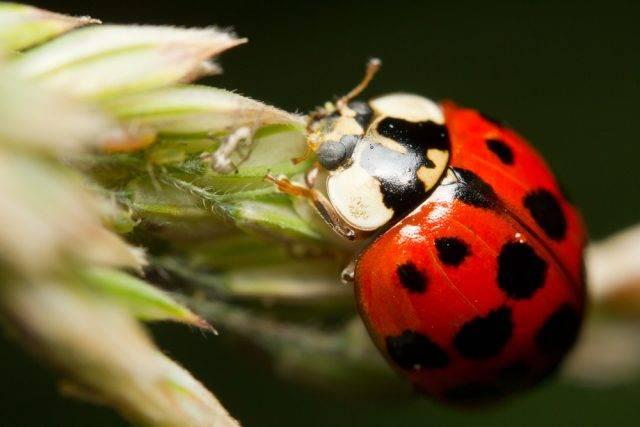biedronka pożyteczny owad