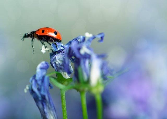 owad pożyteczny biedronka siedmiokropka