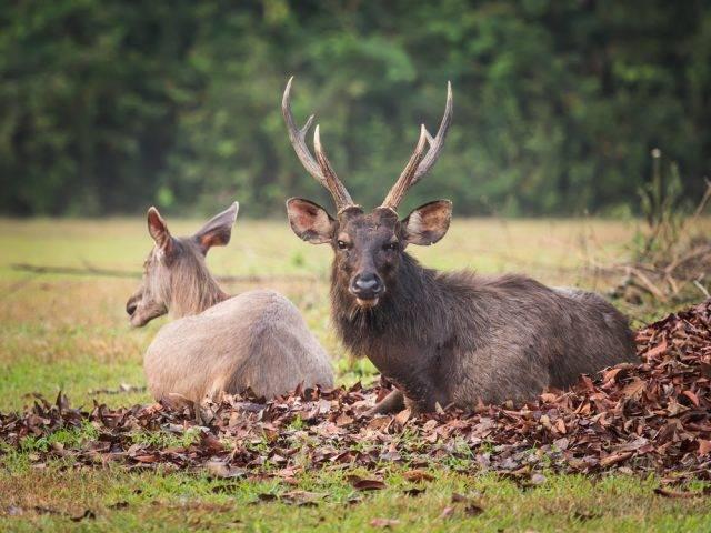 rodzaj ssaków parzystokopytnych jelenie