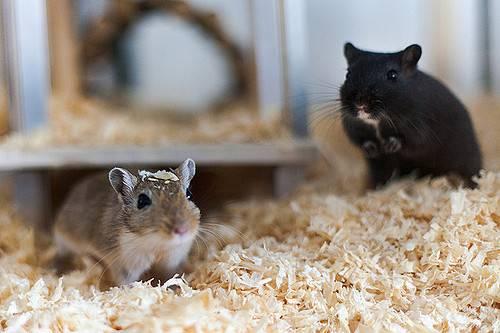 gryzoń domowy myszoskoczek mongolski