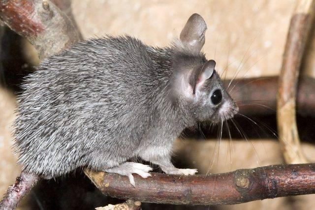 gryzonie domowe mysz kolczsta