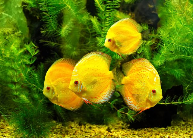żółte ryby akwariowe