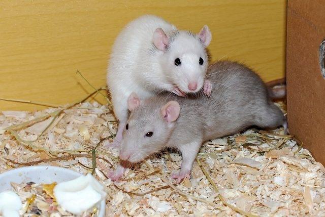 gryzonie szczury domowe