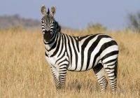 Zebra stepowa (Equus quagga)