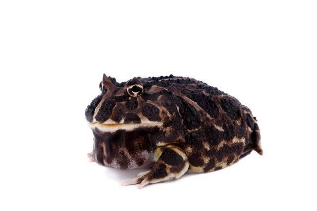 rogata żaba
