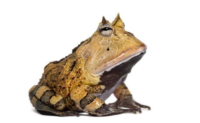 żaba rogata