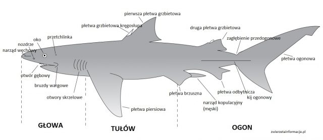 rekin budowa ciała