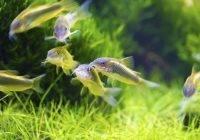 Ryby z rodziny kiryskowatych
