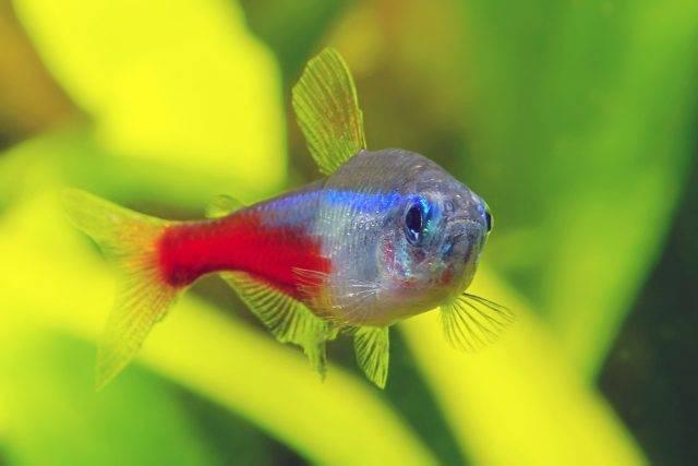 popularna ryba akwariowa neon innesa