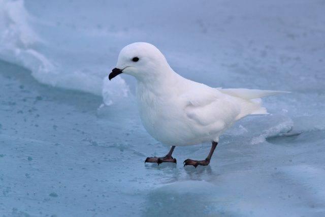 petrel śnieżny (snow petrel)