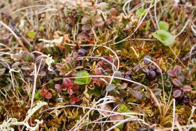 rośliny tundry