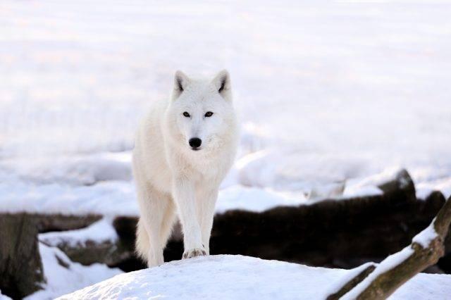 wilk polarny (Canis lupus arctos)