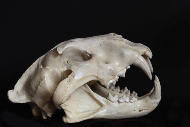 czaszka lwa