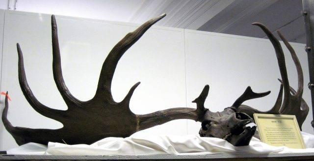 czaszka z rogami jelenia olbrzymiego