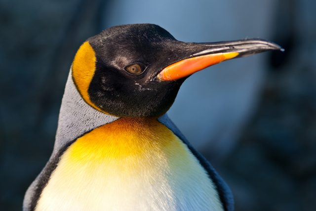 głowa pingwina