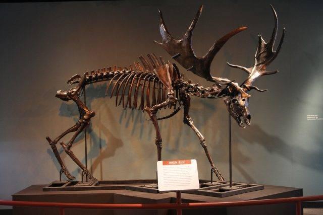 Megaloceros giganteus