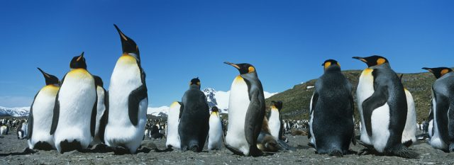 kolonia pingwinów cesarskich