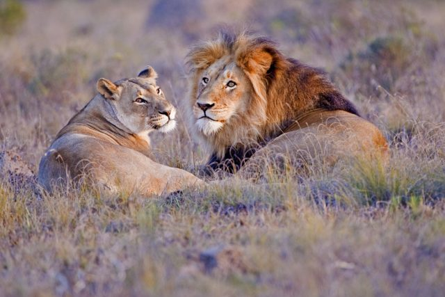 samiec i samica lwa