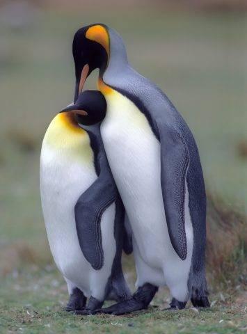 para pingwinów