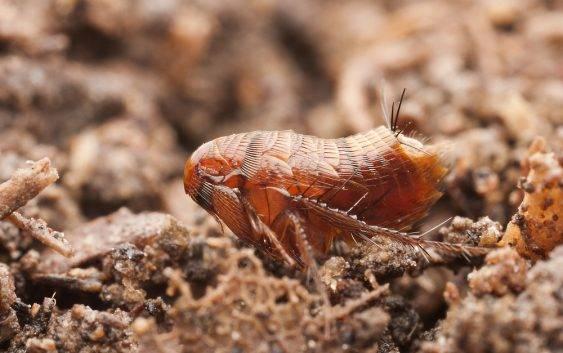Pchła (Siphonaptera, Aphaniptera)