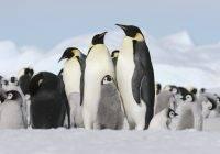 Pingwin cesarski (Aptenodytes forsteri)