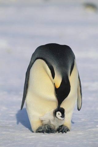 pisklę pingwina cesarskiego trzymane na nogach