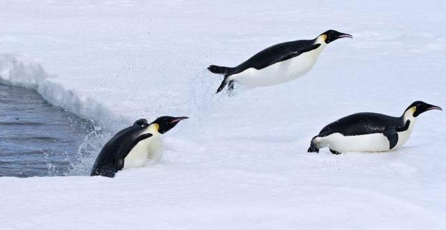 wyskakujące pingwiny