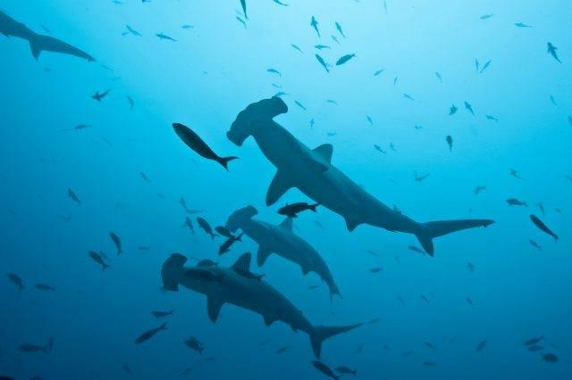 pływające rekiny