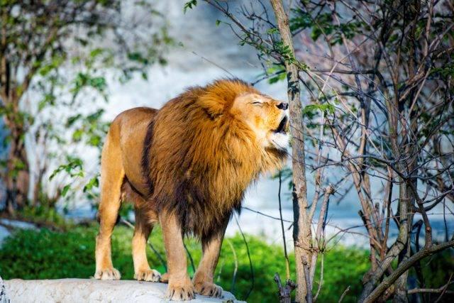 lew ryczący na skale