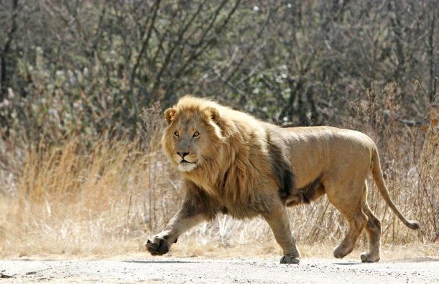 samiec lwa