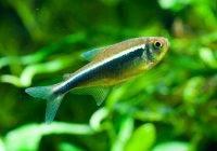 Neon czarny (Hyphessobrycon herbertaxelrodi)