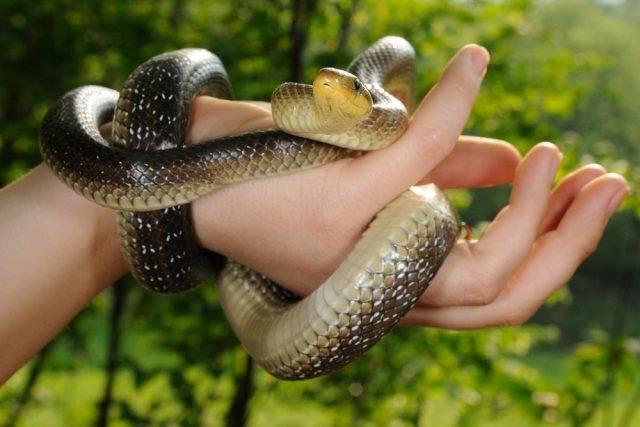 węże w Polsce - wąż eskulapa