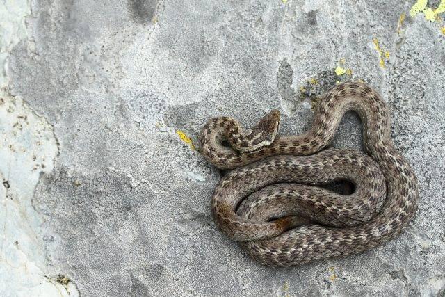 węże w Polsce gniewosz plamisty