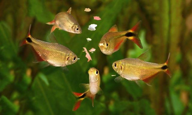 karmienie rybek