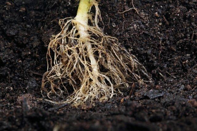 słowniczek terminów botanicznych korzeń