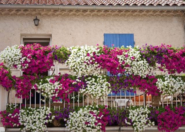 kwiaty balkonowe zwisające - petunie różowe, fioletowe i białe