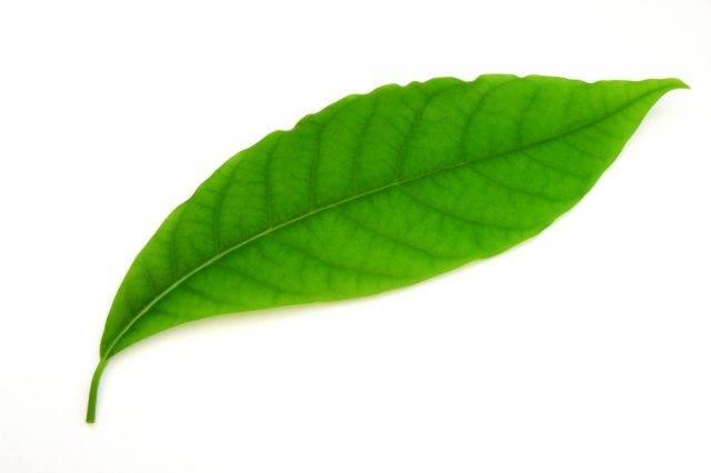słowniczek terminów botanicznych liść prosty